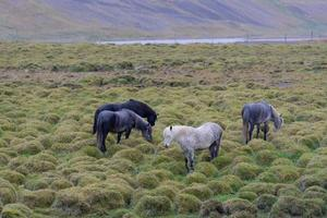 Group of Icelandic horses in a green field photo