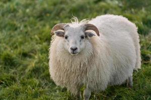 White sheep in green grass photo
