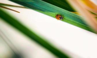 Pequeño escarabajo de manchas rojas se asienta sobre una hoja verde de una planta primavera fondo naturaleza cerrar foto