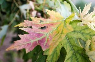 Yellow and green maple leaf close up, colored autumn background photo