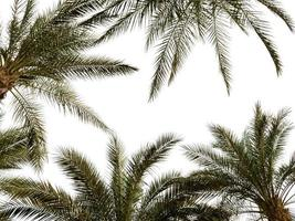 Pattern of palm tree branches on a white background in Egypt photo
