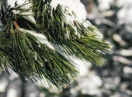 Snow-covered green branches of spruce, close up nature cold winter background photo