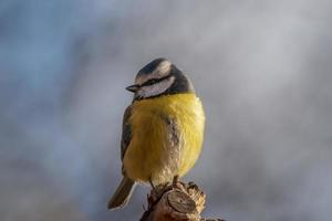 Blue and yellow tit bird