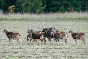 Herd of mouflon sheep standing in a field photo