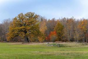 Old autumn colored and knotty oak tree photo
