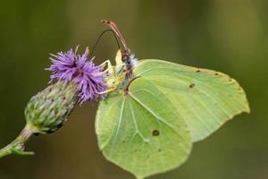 primer plano, de, un, azufre, mariposa foto