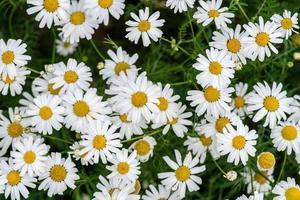 racimo de flores de margarita foto