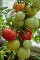 racimo de tomates que crecen en una planta foto