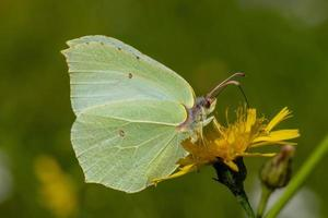 Brimstone butterfly close-up