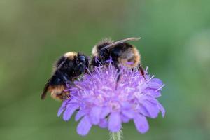 dos abejorros en una flor morada foto