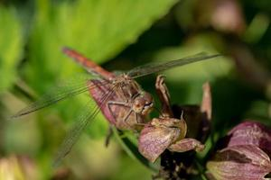 primer plano, de, un, libélula foto