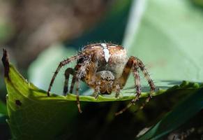 extremo de una araña de jardín foto