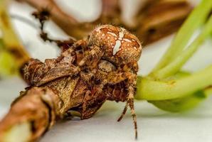 Araña de jardín en una rama foto