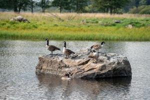 grupo de gansos canadienses foto