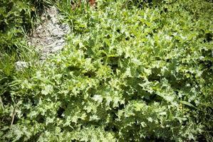 un fondo de hierba espinosa verde salvaje. textura de plantas espinosas. foto