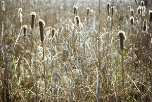 Fondo de cañas secas bajo la luz del sol de la tarde. plantas secas a orillas del lago. foto
