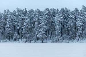 Forest covered with frost and snow photo