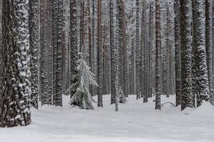 bosque de invierno en el norte de suecia foto