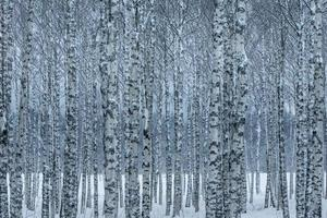 Birch trees in snow photo