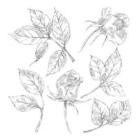 Collection of rose sketches vector