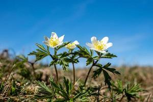 Flores de anémona de madera bajo el sol foto