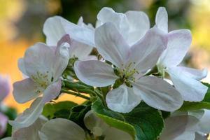 Manzano floreciente con grandes flores blancas y rosadas foto