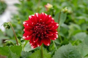 flor de dalia roja foto