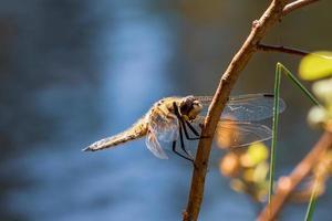 libélula amarilla bajo el sol foto