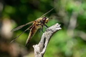 primer plano, de, un, grande, libélula foto