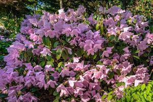 gran arbusto de rododendro lleno de flores de color rosa claro foto