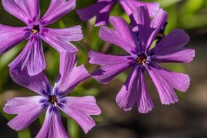 flores de phlox púrpura bajo el sol foto