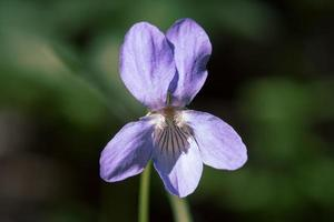 Violet flower in sunshine photo