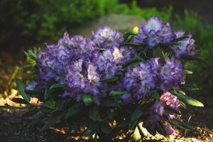 flores de rododendro púrpura foto
