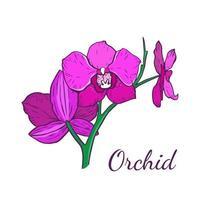tres flores de la orquídea phalaenopsis de color magenta vector