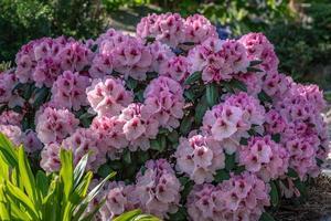 arbusto de rododendro rosa foto