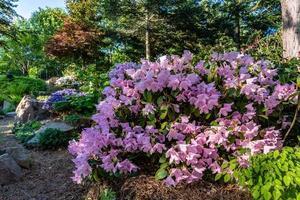 Arbusto de rododendro rosa en un jardín. foto
