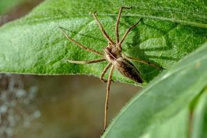 Araña de tela de vivero en una hoja verde foto