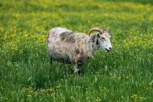 Sheep grazing in a green field filled with yellow flowers photo