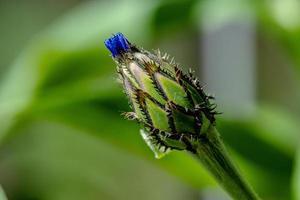 Bud of an unfolded blue cornflower photo