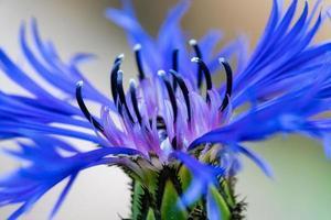 flor de maíz azul foto