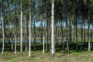 bosque de abedules en verano foto