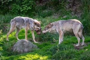 Two wolves fighting over food photo