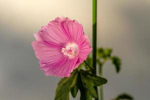 Close-up of a pink mallow flower photo