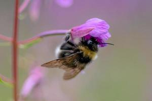 Bumblebee hanging on a pink flower photo