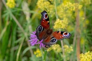 Mariposa pavo real colorida en la luz del sol foto