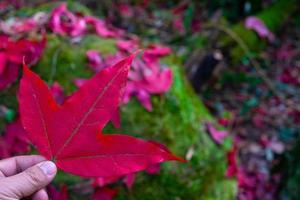 Person holding a red maple leaf photo