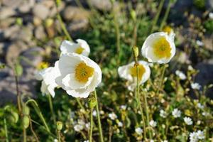 White poppies among rocks and grass photo