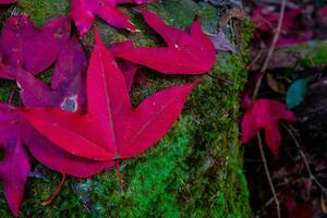 hojas de arce rojo sobre musgo foto