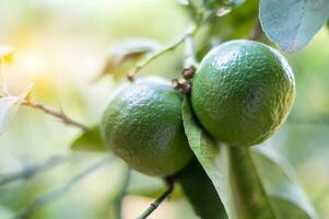 dos limones verdes foto