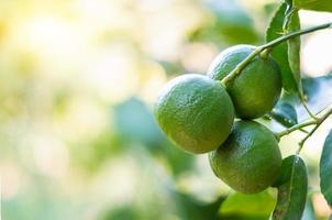 Limes growing on a branch photo